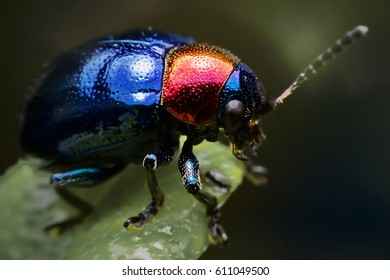Blue Milkweed Beetle; Scientific Name Chrysochus pulcher Baly, scarabaeidae bug or family ladybug on little tree leaves branches eating green leaf with three life cycling caterpillar pupae worm adult
