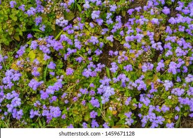 Blue Mink Floss Flower, Ageratum Houstonianum