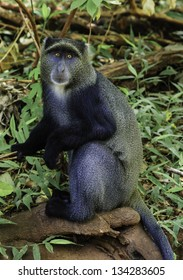 Blue Monkey, Cercopithecus mitis, sitting on a branch amongst foliage looking at the camera in the Serengeti National Park in Tanzania