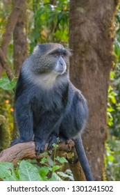 Blue Monkey in the Kilimanjaro rainforest