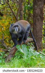 Blue Monkey in the rainforest