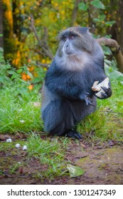 Blue Monkey stealing some bread from camp
