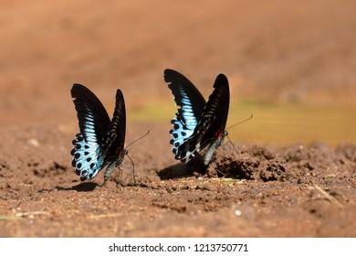Blue mormon butterfly from Sri Lanka