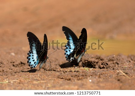 Blue mormon butterfly from