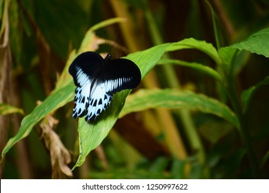 Blue Mormon, on of the largest butterfly of India captured in the western ghats, located in the state of Karnataka India. This butterfly is also the state butterfly of Maharashtra.
