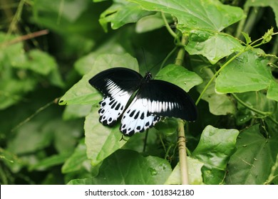 The Blue Mormon ( Papilio polymnestor) is a large swallowtail butterfly found in South India