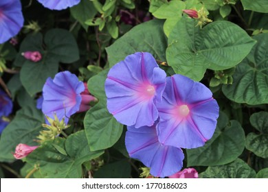 blue morning glories on the stone wall