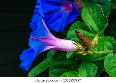 blue morning glory blooming with deep blue blossoms
