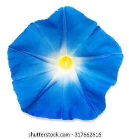 Blue morning glory flower isolated on white background