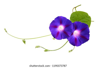 Blue Morning Glory Flowers Isolated on White