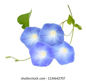 blue morning glory, ipomoea flowers