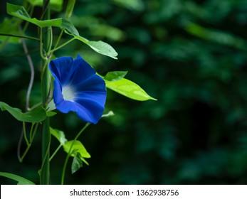 It is a blue morning glory taken in Japan.