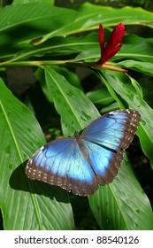Blue Morph Butterfly Beauty