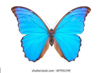 Blue morpho. Beautiful colorful butterfly. Moth isolated on white.