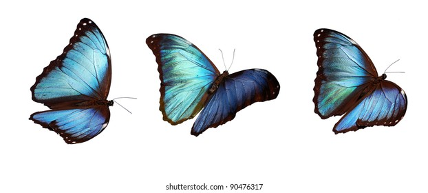 Blue morpho  butterflies, flying positions, underside. Stacked macros so they are all sharp and can be inserted everywhere.