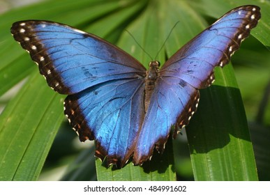 blue morpho butterfly iridescent tropical 260nw