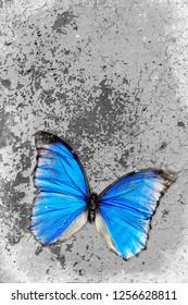 Blue morpho butterfly on grunge background