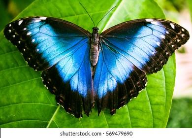 Blue Morpho Butterfly (Morpho peleides)
