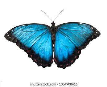 Blue Morpho butterfly, Morpho peleides, isolated on white background.