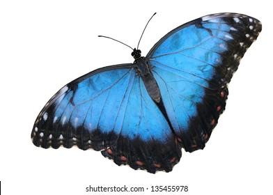 Blue Morpho butterfly (Morpho peleides), isolated on white background