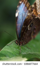 Blue morpho butterfly seats on green leaf extreme macro portrait. Vertical shoot