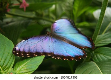blue morpho butterfly sitting on 260nw