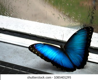 Blue Morpho Butterfly wishes to be free on a rainy day - depression
