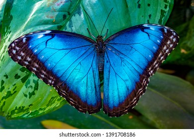 Blue Morpho, Morpho peleides, big butterfly sitting on green leaves, beautiful insect in the nature habitat, wildlife
