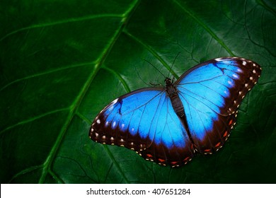 Blue Morpho, Morpho peleides, big butterfly sitting on green leaves, beautiful insect in the nature habitat, wildlife from Amazon in Peru, South America.