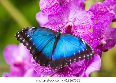 Blue morpho (morpho peleides) on green nature background, close-up.