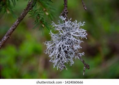 Blue moss on a tree branch. Iceland moss, moss moss. Lichen of the genus Kladonia