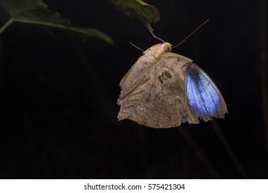 Blue Moth sleeping on a dry branch
