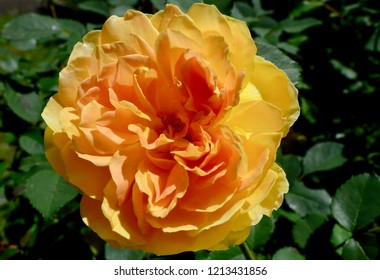 Blue Mountains, New South Wales, Australia. October 2018. A brilliant yellow rose in the spring sunshine. Molineux is a hybrid tea by David Austin.
