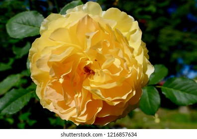 Blue Mountains, New South Wales, Australia. October 2018. A bright yellow rose enjoys the sunshine in springtime. Molineux is a shrub rose by David Austin.