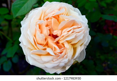 Blue Mountains, New South Wales, Australia. November 2018. A pale colored rose in a garden in the Blue Mountains. Jude the Obscure is a shrub rose by David Austin.