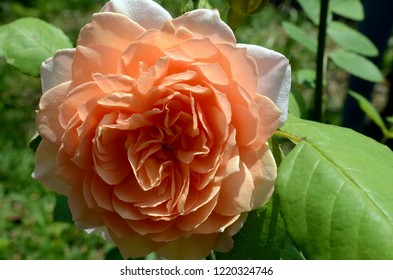 Blue Mountains, New South Wales, Australia. October 2018. An orange rose in a sunny garden enjoys the spring sunshine. Grace is a hybrid tea by David Austin.