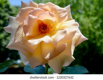 Blue  Mountains, New South Wales, Australia. October 2018. A beautiful rose in a sunny garden. Chateau Versailles is a shrub rose by Delbard.