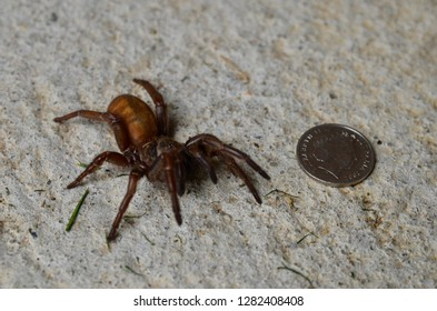 Blue Mountains, New South Wales, Australia. January 2019. An image of a female trapdoor spider seen near a 5 cent piece.