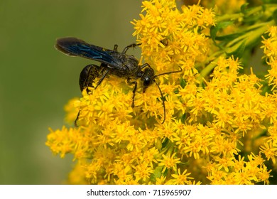 Blue Mud Dauber Wasp collecting nectar from a Goldenrod flower. Ashbridges Bay Park, Toronto, Ontario, Canada.