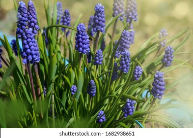Blue Muscari flowers close up. A group of Grape hyacinth (Muscari armeniacum) blooming in the spring, closeup with selective focus