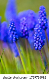 Blue Muscari flowers close up. A group of Grape hyacinth (Muscari armeniacum) blooming in the spring, closeup with selective focus.