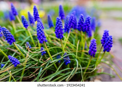 Blue Muscari flowers close up. A group of Grape hyacinth (Muscari armeniacum) blooming in the spring.