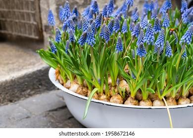 Blue muscari flowers (Grape hyacinth) in spring season in a flower pot
