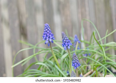 Blue muscari and the leaves on a wooden background