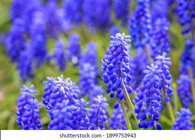 Blue Muscari, sort Ocean Magic Armeniacum Viola. Many muscari blue flowers in green. Spring muscari hyacinth flowers. Beautiful Blue spring holiday nature