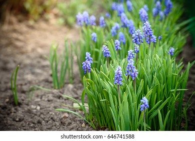 blue Muscari spring flowers in the garden