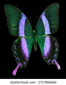 Blue neon emperor butterfly isolated on a black background with clipping path