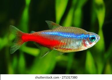 Blue Neon tetra fish