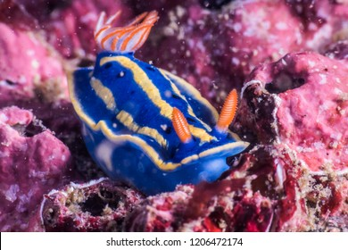 Blue nudibranch ( Hypselodoris festiva (A. Adams 1861) on purple color rock. Owase, Mie, Japan