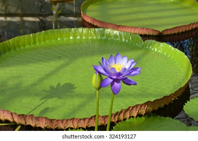 Blue nymphaea in flower with lily pads